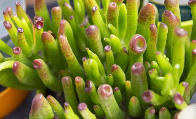 多肉植物 ゴーラム(宇宙の木)
