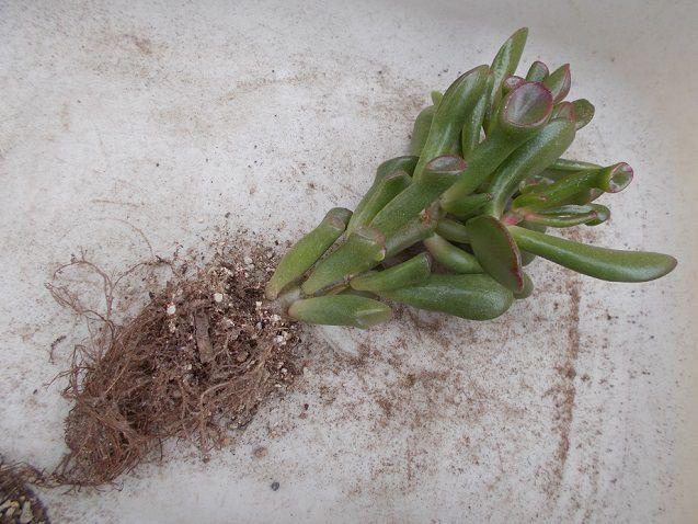 根鉢をくずしたゴーラムの株