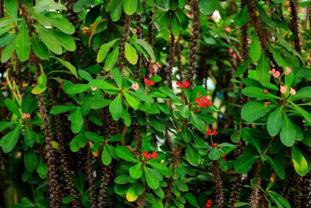 ハナキリンのトゲのある茎