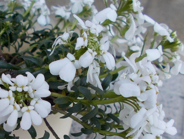 宿根イベリスの花