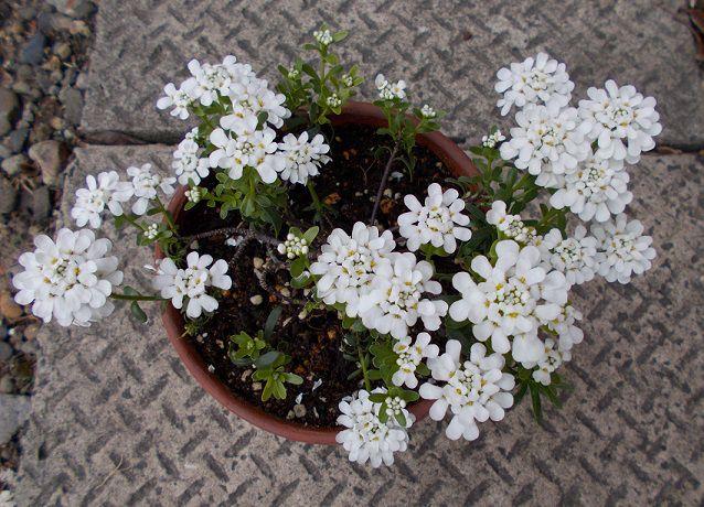 植え替え後に咲き始めた宿根イベリス