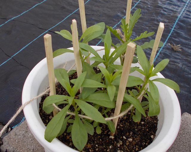 1年草イベリス鉢植え