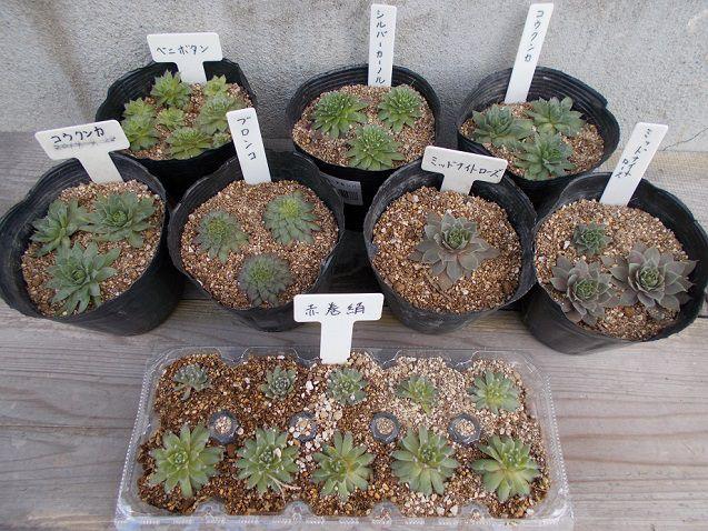 センペルビウム秋の植え替え後
