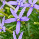 イソトマ(ローレンティア)の花
