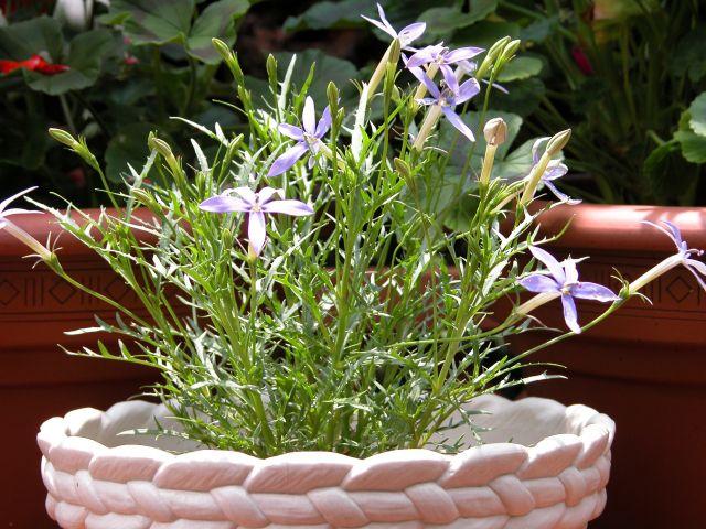 イソトマ(ローレンティア)の鉢植え