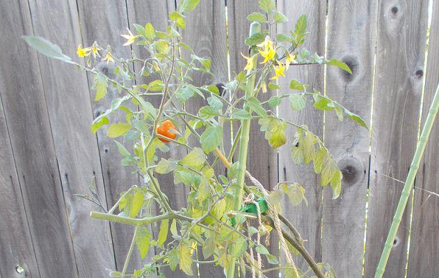 ミニトマト栽培終了