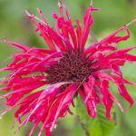 モナルダの赤い花