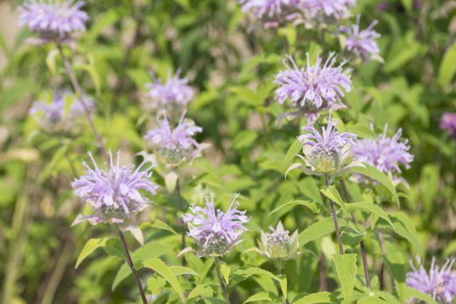 モナルダの花