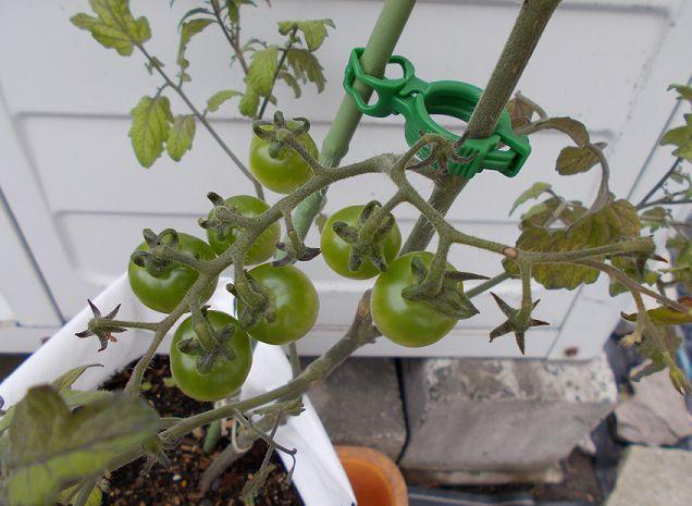 ミニトマトの緑色の実