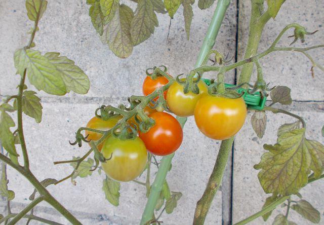 ミニトマト色づき始める