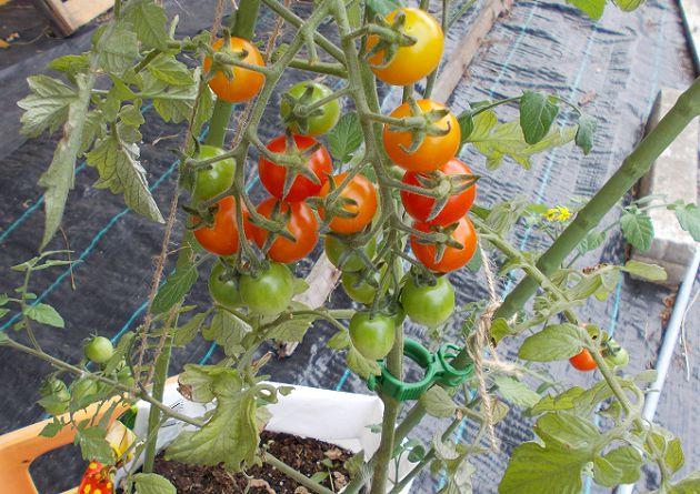 8月のミニトマト