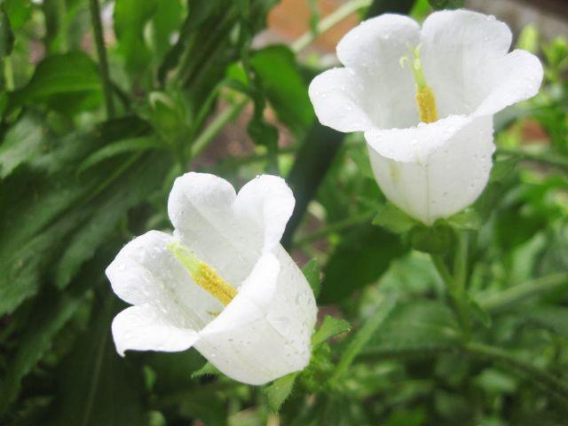 白いカンパニュラの花
