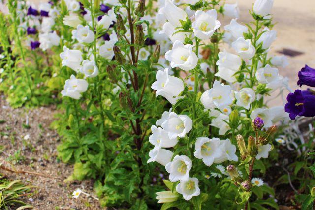 花壇のカンパニュラ