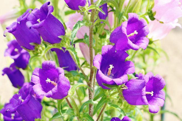 カンパニュラの紫色の花