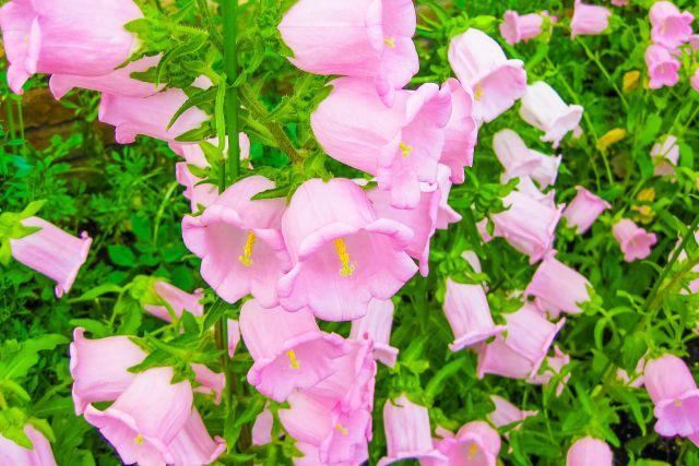 カンパニュラのピンクの花
