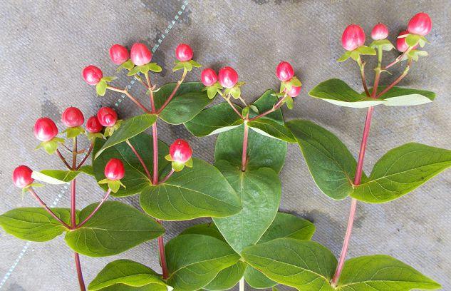 切り花のヒペリカム
