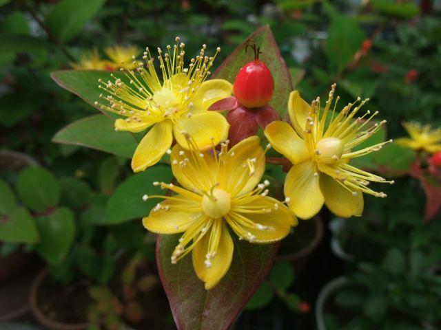 ヒペリカムの花と実
